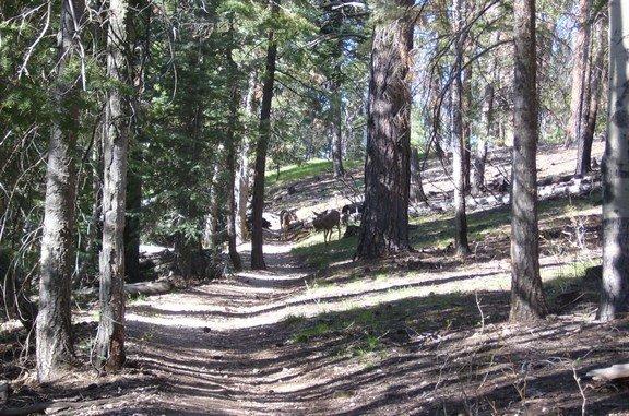 Deer on the Widforss Trail