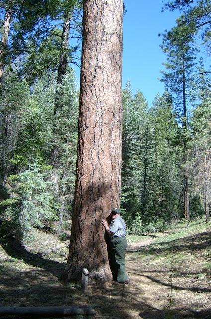 Huge Pine tree over 13 feet in diameter.