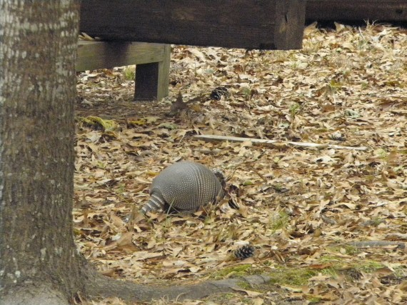 armadillo, wildlife, wild animals, payne lake