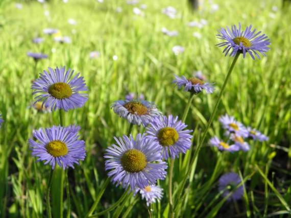 Fleabane, grand canyon, wildflowers