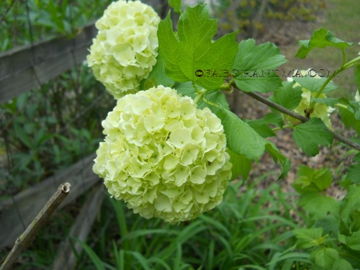 Snowball bush or hydrangea?