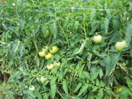 Tomatoes ready soon