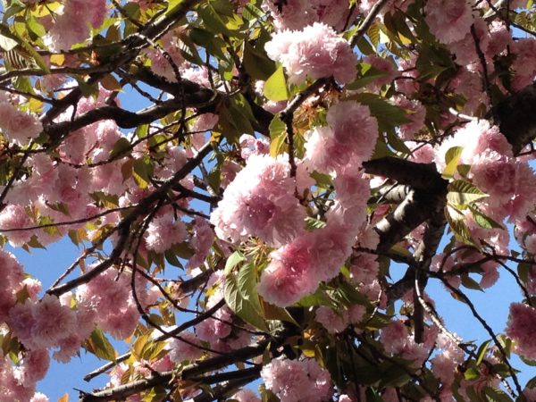 Beautiful blooms on the cherry trees.