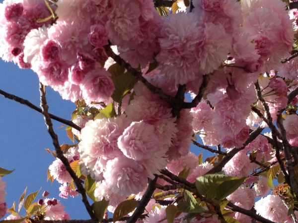 Another view of the cherry blossoms