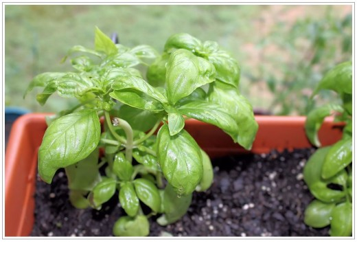 Of course I have basil in the garden!