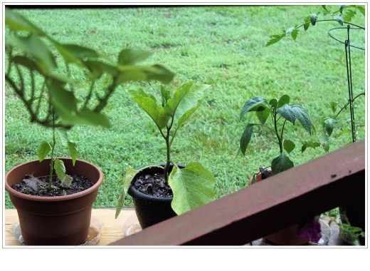 My eggplant. I think eggplant plants are beautiful. They have purple flowers when they bloom.
