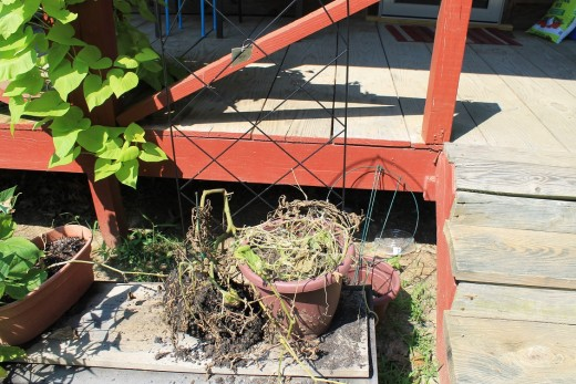This tomato plant just died.