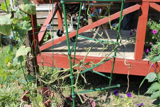 This tomato plant was attacked by the ugly tomato hornworms.