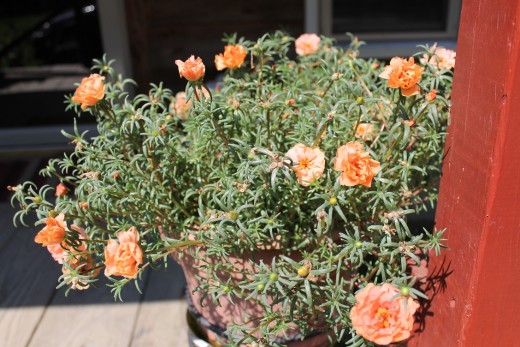 Pretty pretty moss rose