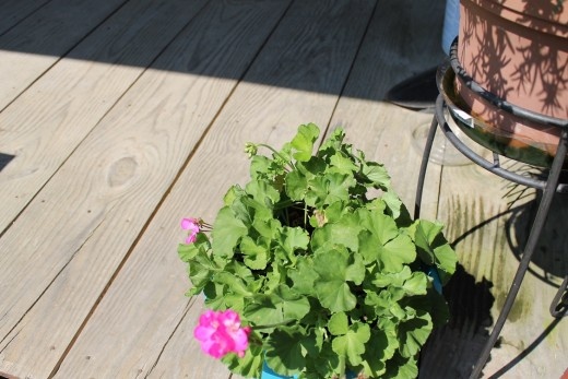 Geranium is putting on the second set of blossoms