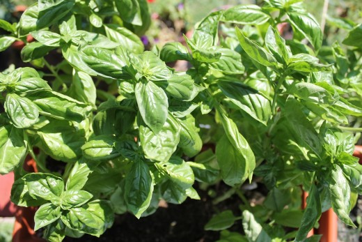 Basil. My favorite.