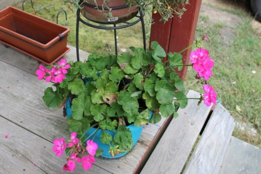 The Geranium is still blooming,
