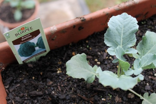 Baby broccoli plant