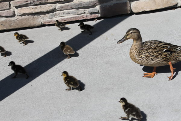 Mama duck with some of her brood of babies