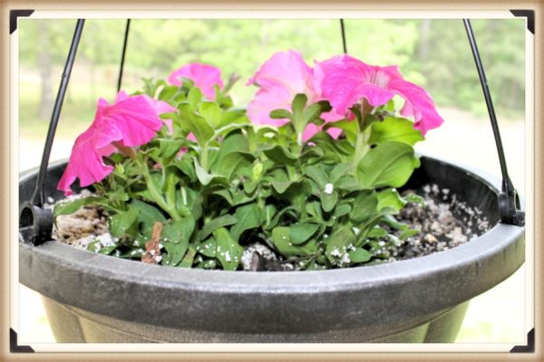 Pink petunias in a hanging basket