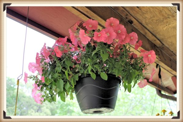 Salmon petunias in hanging basket