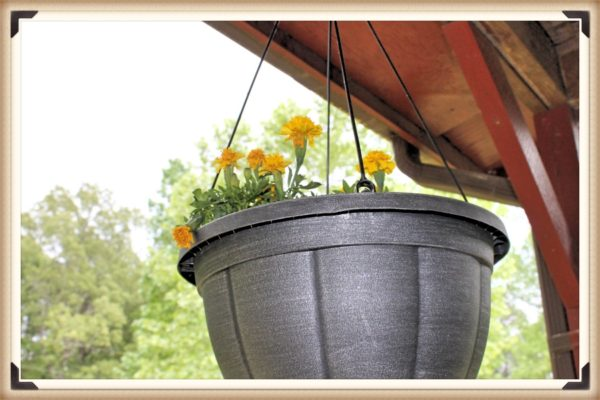 Marigolds in a hanging basket.