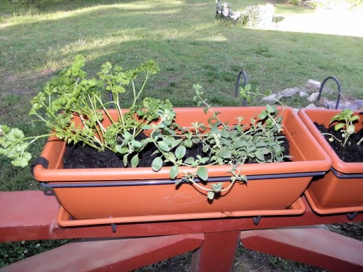 Oregano and Curled Parsley.