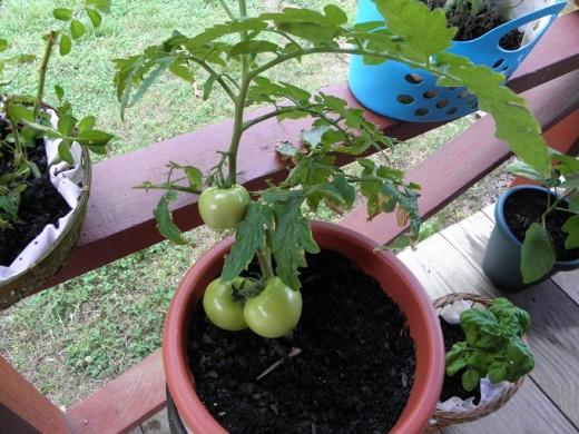 Three tomatoes!