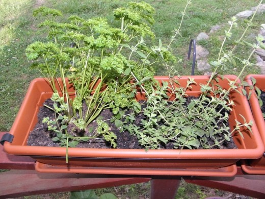 Curly Parsley and Oregano