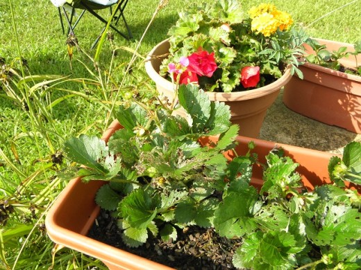 Japanese beetles got to the strawberry plants.