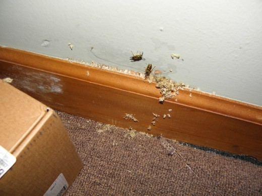 The bees were coming out of the baseboard.