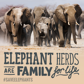 Elephants herds are families that stay together for life.