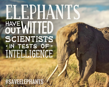 Elephants are smart!